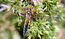 Libellule à quatre taches (libellula quadrimaculata) - Eloy Sanchez